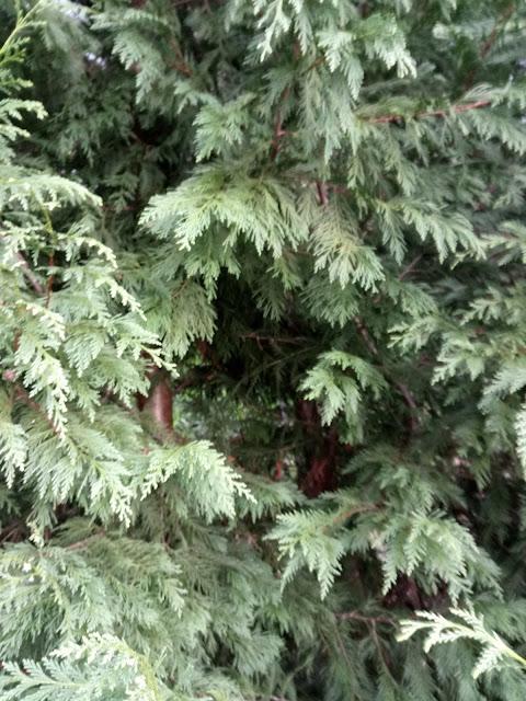 Pino frondoso y tronco