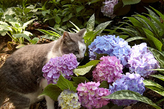 a grey and white cat standing behind purple, pink and white hydrangeas.s