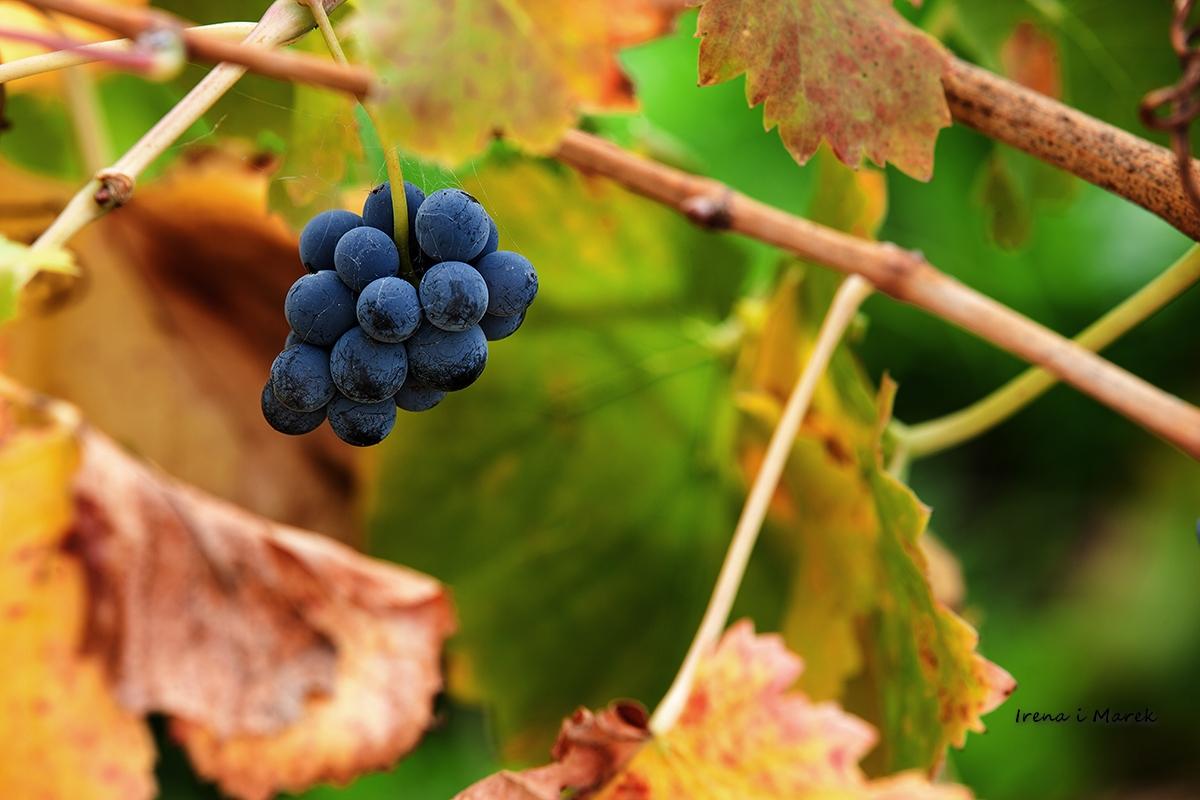 Dolina Barossa - serce australijskiego winiarstwa w relacji naszych gości.
