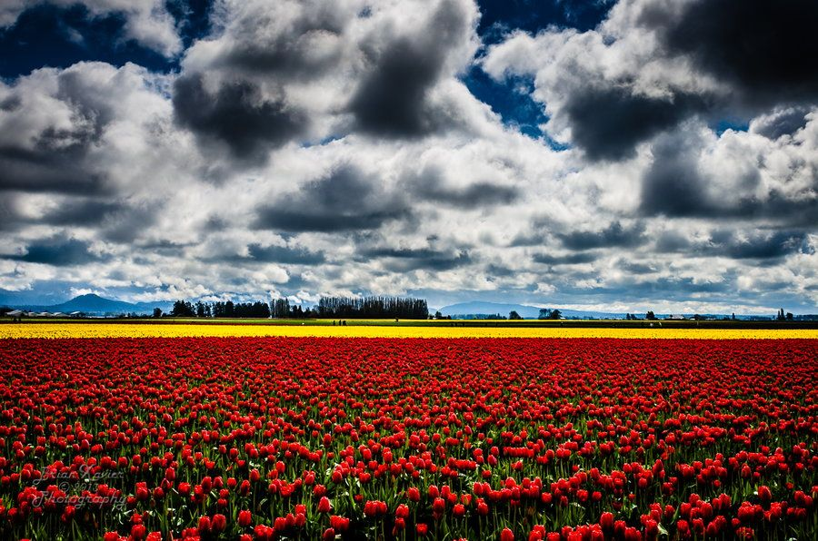 7. Skagit Valley Tulips by Brian Xavier