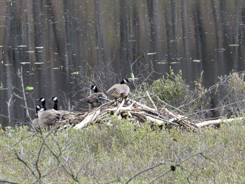 Canade geese