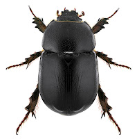 Overhead view of a black scarab beetle on a white background