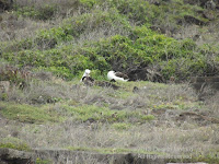 Laysan albatrosses, Kaena Point, Oahu - © Denise Motard