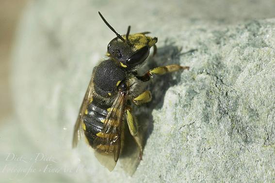 Grosse Wollbiene / Garten- Wollbiene (Anthidium manicatum) Die männliche Wollbiene verteidigt ihr Revier gegen Nahrungskonkurrenten mit ihren Dornen am Hinterleib. Ihre Brut wächst in Erd-, Mauer-, Holzlöcher oder Erdspalten auf.
