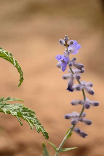 Perovskia, Perovskia atriplicifolia, Russian Sage, drought-tolerant