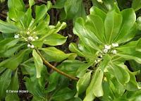 Naupaka white flower - Ho'omaluhia Botanical Garden, Kaneohe, HI