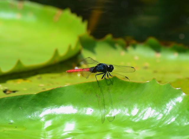 Guyane, Synnamary, balade canoë, Pripri de Yiyi, Sepenguy, mise a l'eau, maison de la nature
