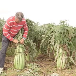 agricultor recolectando cardo
