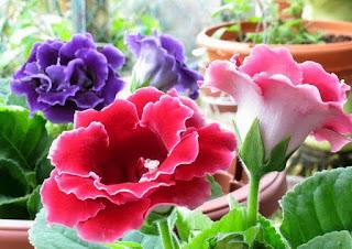 jual-bibit-bunga-gloxinia.jpg