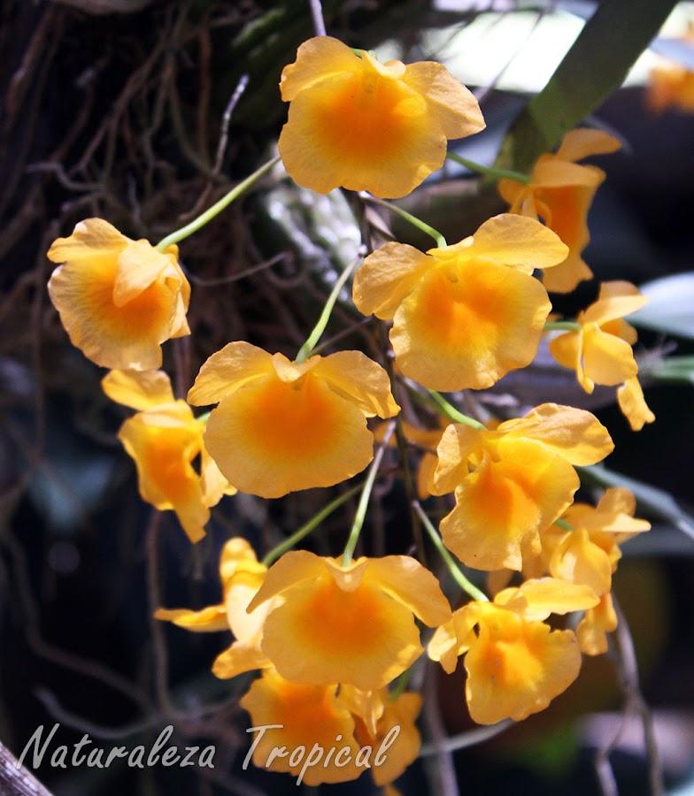Vista de la inflorescencia de la orquídea Dendrobium lindleyi
