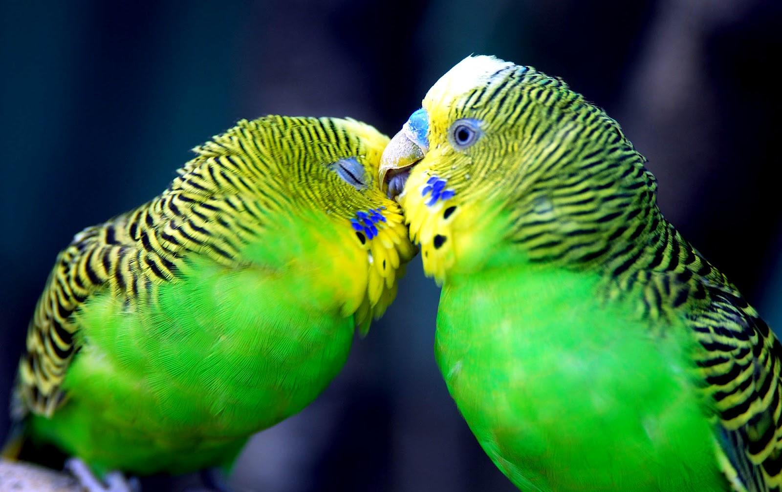 Wallpaper Gallery Love Bird Wallpaper: Best Pics Store: Top 20 Cute Birds HD Wallpapers For Pc