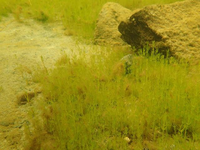 Tiheää kasvillisuutta sekapohjalla (mutaa, hiekkaa ja kiviä) veden alla