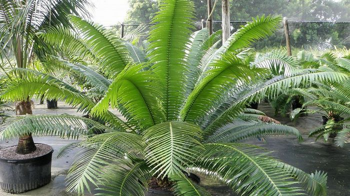 dioon spinulosum, dioon califanoi, dioon vagabond, dioon angustifolium, dioon argenteum, dioon purpusii, dioon merolae dioon holmgrenii