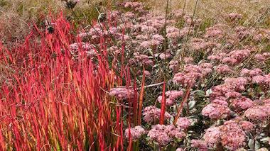 Imperata cylindrica 'Red Baron' (sin. Rubra), una gramínea ornamental con luz y color