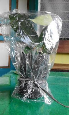 Cara Stek Pucuk Tanaman Jambu Madu
