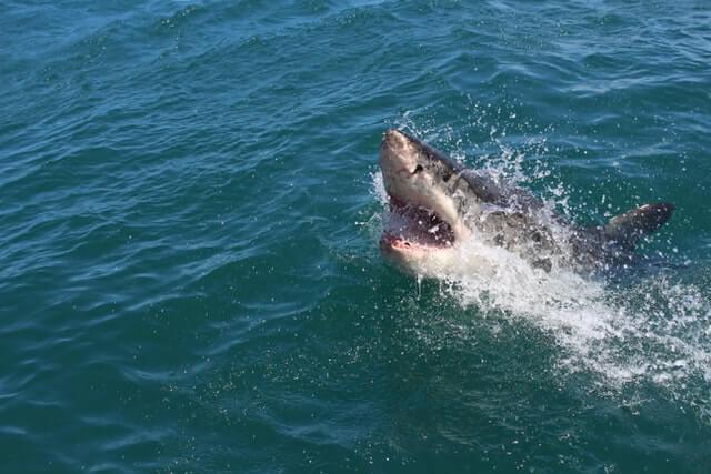 fatos sobre os tubarões