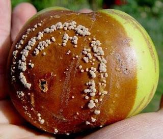 moniliose pomme