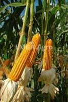 jagung manis bonanza, manfaat jagung, budidaya jagung, jual benih jagung, toko pertanian, toko online, lmga agro