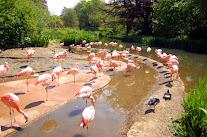 Фломинго в Джерсийском парке фото