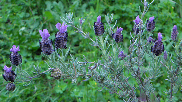 Arching purple Spanish lavender branch with grassy background