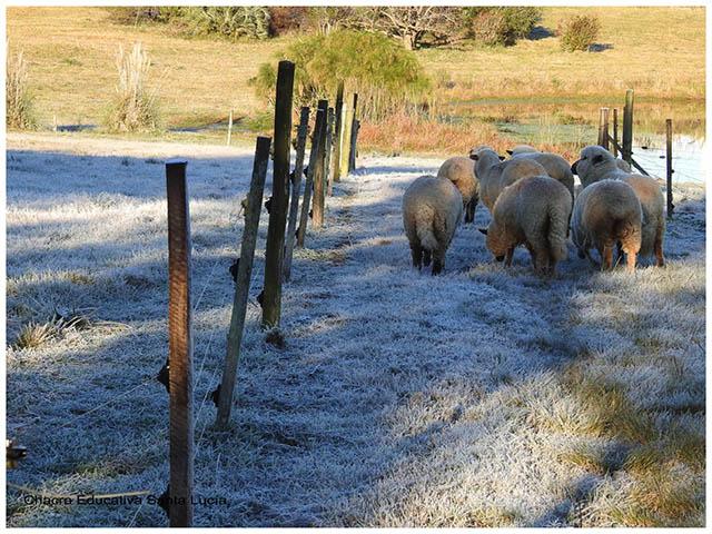 Ovejas pastando en el campo -Chacra Educativa Santa Lucía