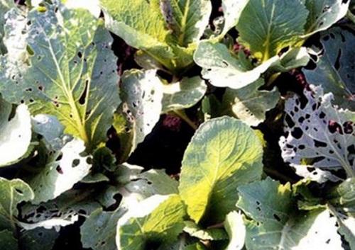 Phòng trừ sâu bệnh rau ăn lá