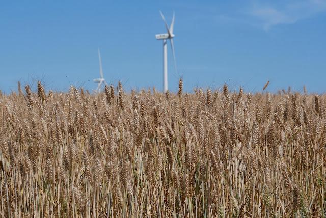 à  brandeneuf, les éloliennes poussent dans le blé