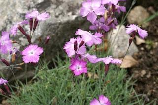 Œillet bleuâtre - Œillet bleu - Œillet de Grenoble - Dianthus gratianopolitanus