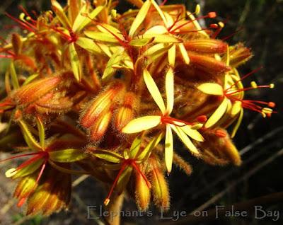Dilatris viscosa at Cecilia Forest in November