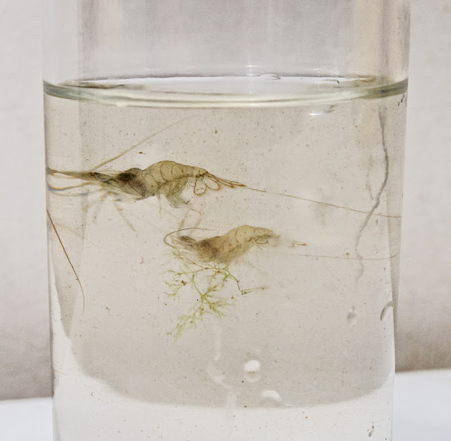 Photo of a couple of tiny prawns that I put into a glass of seawater