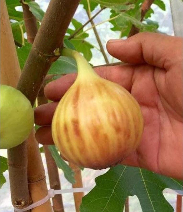 Bibit buah tin jenis Brown Arabian Jawa Barat