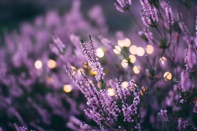 lavender,#lavender,lavender oil,lavender plant,lavender slime,drying lavender,growing lavender,english lavender,lavender tea,dry lavender,grow lavender,lavender tips,lavender acne,lavender movie,lavender types,dried lavender,lavender plants,lavender garden,lavender fields,grosso lavender,vaping lavender,lavender (food),lavender roblox,pruning lavender,lavender flowers,types of lavender,spanish lavender,lavender oil uses,uses for lavender,adopt me lavender,lavender cuttings,planting lavender
