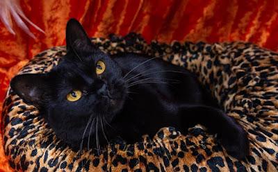 Jenis Ras Kucing Mandalay