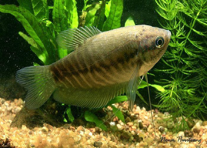 Budidaya Ikan Hias Sepat Siam