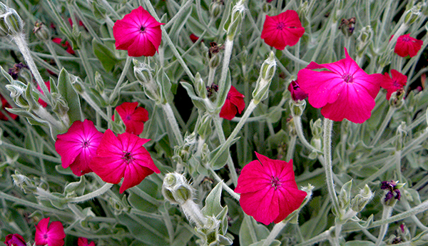 Coronaria, or Rose Campion