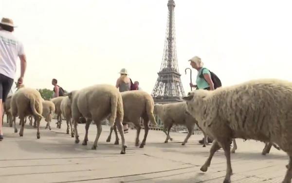 قطيع من الخرفان في رحلة وسط باريس! Moutons à Paris