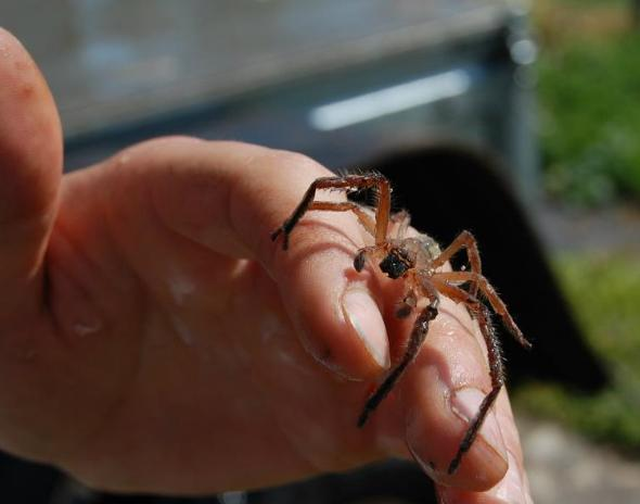 On the farm The biggest spider that has ever existed ever