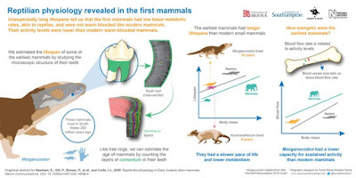 """Reptilian physiology revealed in the first mammals"" infographic"