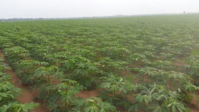 cassava plant population