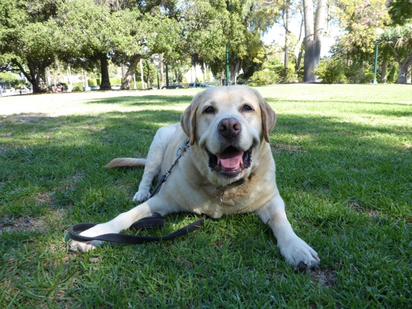8 year old Yellow Labrador Cooper