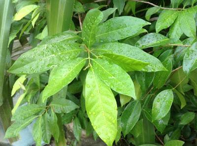 syzygium polyanthum (Salam)