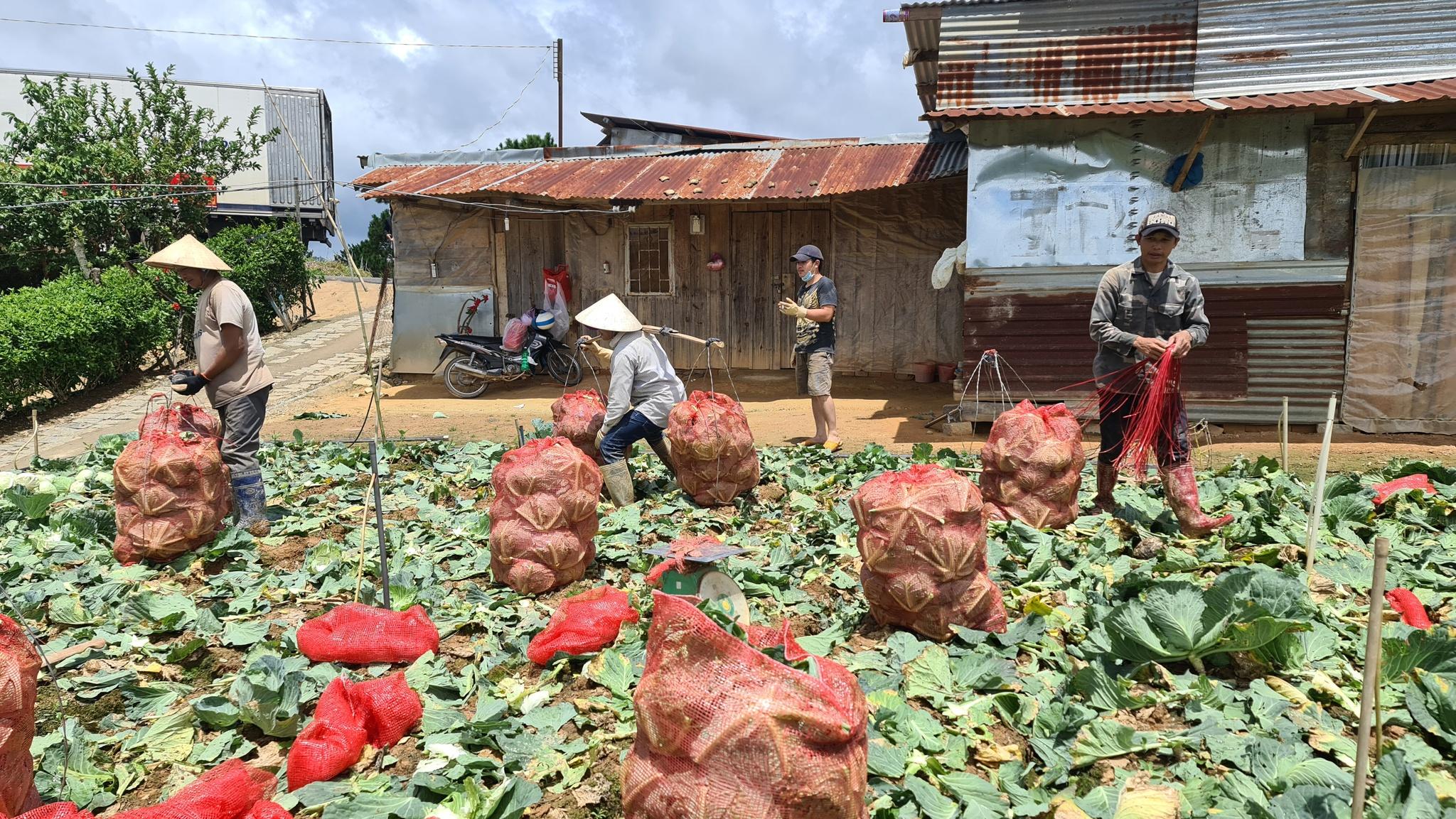 Nhiều nông hộ ở Đà Lạt mong bán được hàng theo chương trình 5000 tấn nông sản hỗ trợ TP.HCM với giá cả hợp lý. Ảnh: Lâm Viên