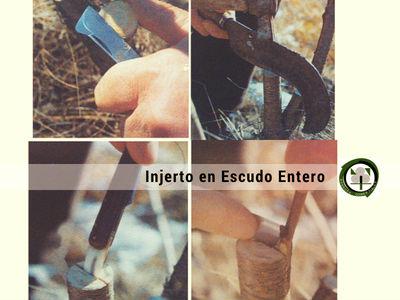 El Injerto en Escudo Entero es un Injerto de Púa que se practica con el peral, el caqui