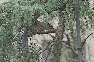 "This is a picture of a squirrel who is sitting on the branch of a Larix kaempferi (Japanese larch). This is a picture of a squirrel I don't know the creature's gender so I will reference the little animal with the masculine pronoun. The creature is looking intently at another one of the tree's branches. His right foot can be seen ""balanced"" on the branch and his tail is dangling down off the branch. His ears are straight up above his head. This Japanese larch is featured in volume one of my three volume book series, ""Words In Our Beak."" Info re these books  can be found within another post on this blog @ https://www.thelastleafgardener.com/2018/10/one-sheet-book-series-info.html"