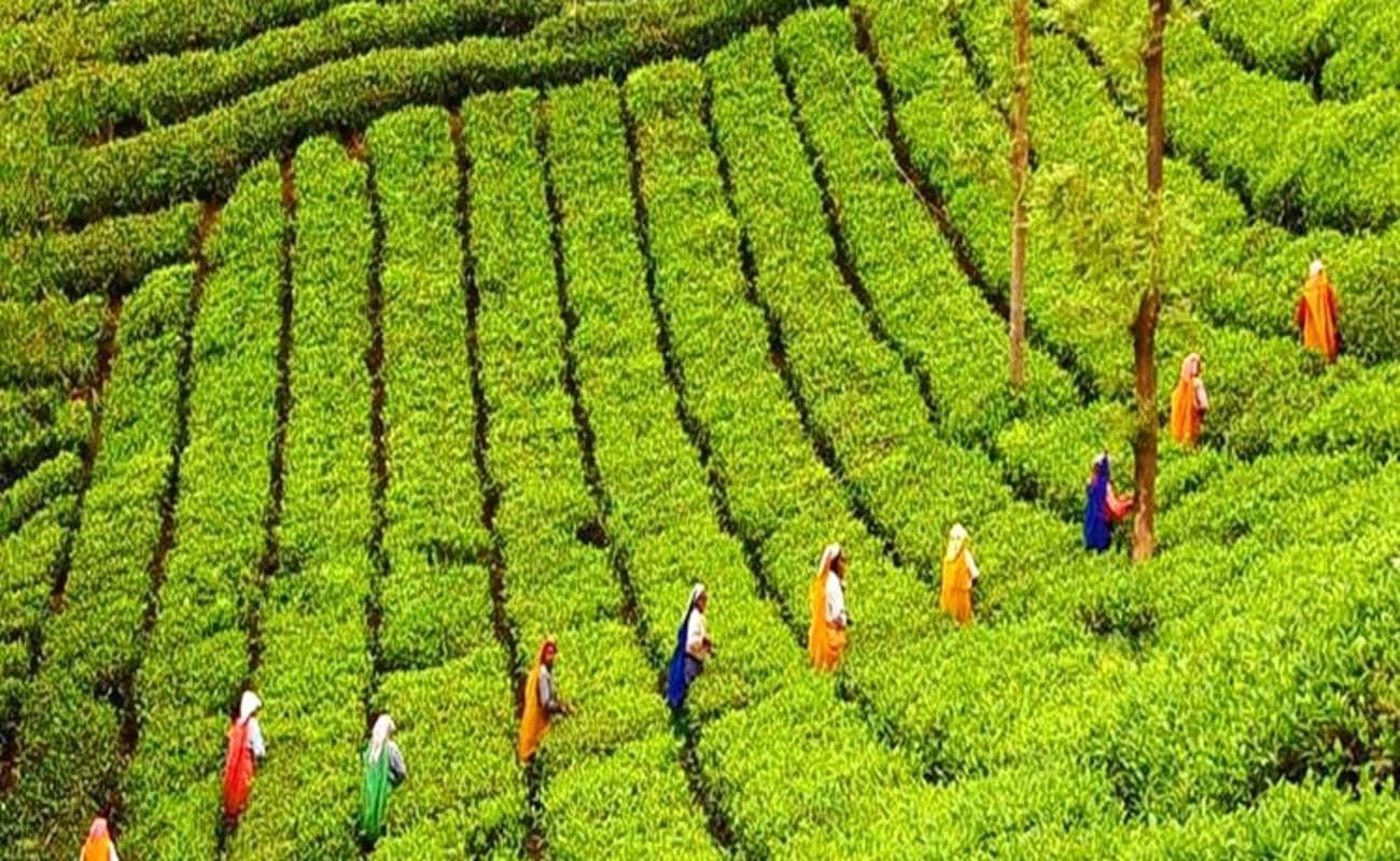 Производство чая в Индии. Штат Керала