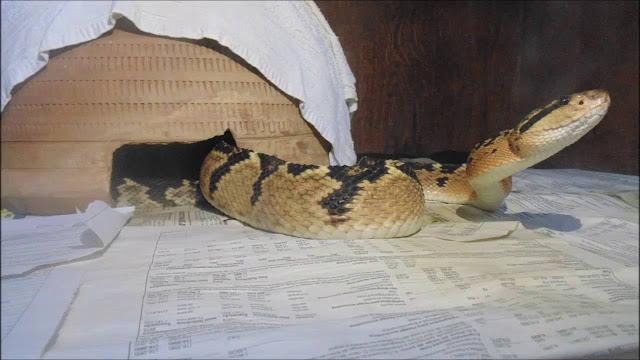 Conheça as cobras mais venenosas do Brasil