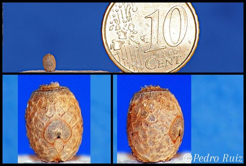 Huevo  de Lamponius guerini