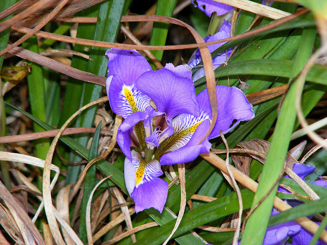 Iris unguicularis. Photographed by Susan from Loire Valley Time Travel. https://tourtheloire.com
