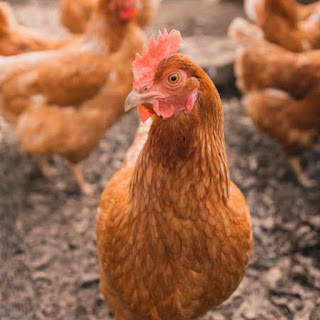 Prevent and control diseases in poultry farm