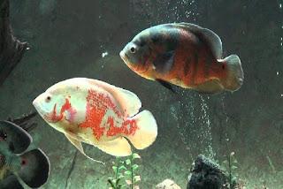 Makanan Ikan Oscar